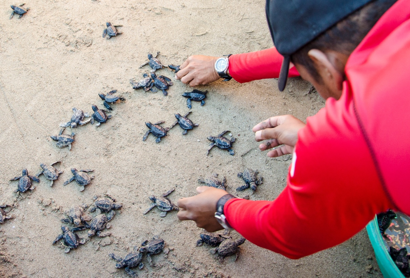 147 Olive Ridley sea turtle eggs hatched in Hamilo Coast and were released back to the sea by residents and members of Pico de Loro Cove.